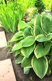 Hosta i trädgård Royaltyfria Bilder