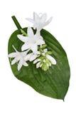 Hosta kwiat Zdjęcia Royalty Free
