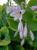 Hosta kwiaty Zdjęcie Royalty Free