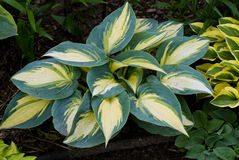 Hosta 'Lakeside Cupcake' Royalty Free Stock Images