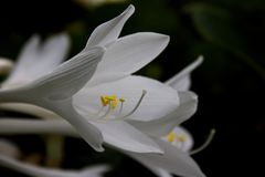 Hosta on late summer bloom. Beautiful close up Hosta on late summer in full garden bloom stock photo