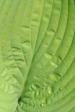 Hosta leaf Royalty Free Stock Photography