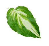 Hosta Leaf Stock Photos