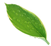 Hosta Leaf Stock Image