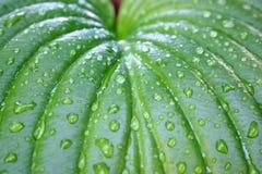 Hosta leaf with drop. Hosta leaf after the rain stock image