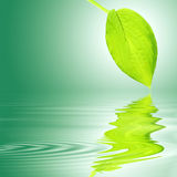 Hosta Leaf Over Water Stock Photo