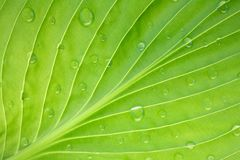 Hosta leaf pattern with dew drops Stock Photos