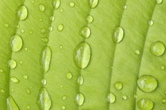 Hosta leaf Stock Photo