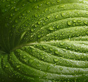 Hosta leaf with rain drops Royalty Free Stock Image