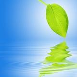Hosta Leaf Reflection Royalty Free Stock Photo