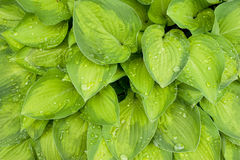 Hosta leafs Stock Image
