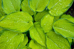 Hosta Leaves. Lush hosta foliage in the morning light Royalty Free Stock Images