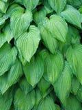 Hosta leaves. Hosta wet leaves Stock Photo