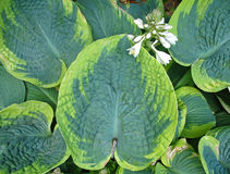 Hosta leaves Royalty Free Stock Photo