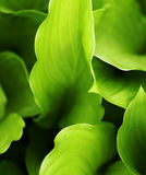 Hosta Leaves. A macro of green hosta leaves in the garden royalty free stock photos
