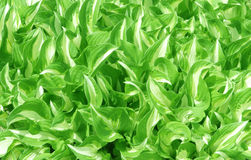 Hosta Leaves Royalty Free Stock Photography