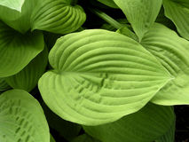 Hosta leaves. Closeup of yellow-green hosta leaves royalty free stock image