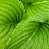 Hosta leaves Royalty Free Stock Images