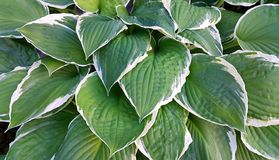 Hosta leaves background. Beautiful bright green and white leaves of hosta Royalty Free Stock Photography