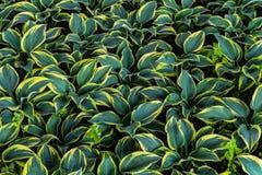 Hosta leaves background. Hosta - an ornamental plant for landscaping park and garden design. Lush green bushes. royalty free stock photo