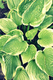 Hosta Leaves background retro style Royalty Free Stock Photo