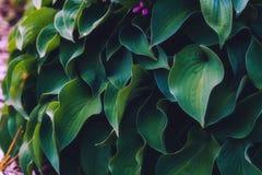 Hosta leaves background