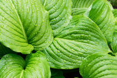 Hosta leaves close-up. Green hosta leaves after the rain Royalty Free Stock Images