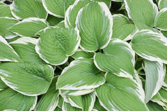 Hosta leaves. Close up of Hosta plant with white edges . ( Hosta Francee Lily )- Perennial Plants Royalty Free Stock Photography