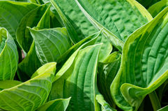 Hosta leaves Royalty Free Stock Photos