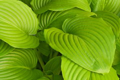 Hosta leaves with large veins Royalty Free Stock Image