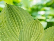 Hosta leaves with rain drops on the blurred background Stock Photography