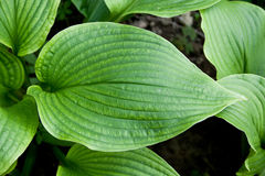 Hosta montana Royalty Free Stock Photos