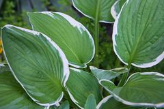 Hosta Patriot plant in the garden. Closeup yellow and green leaves background. stock image