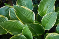 Hosta Patriot plant in the garden. Closeup yellow and green leaves background. royalty free stock photos