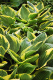 Hosta plant. Leaves covered with raindrops Royalty Free Stock Photo