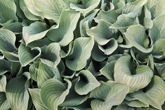 Hosta plant Stock Image