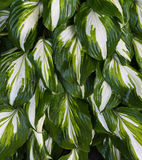 Hosta Plant. With it wonderful deep green leaves and a splash of white on them Royalty Free Stock Photo