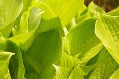 hosta plant background Royalty Free Stock Photos