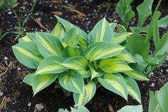 Hosta plant Stock Images