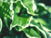 The hosta plant. Decorative form of popular flower,. Village park with flower beds royalty free stock image