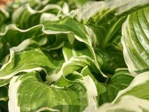 The hosta plant. Decorative form of popular flower,. Village park with flower beds stock photos