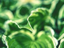The hosta plant. Decorative form of popular flower,. Village park with flower beds royalty free stock photo