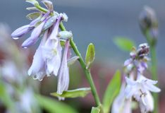 Hosta Plant With Droplets Stock Photo