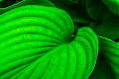 Hosta Plant Empress Wu Closeup Royalty Free Stock Photography