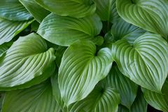 Hosta plant in the garden. Closeup green leaves background. Hosta - an ornamental plant for landscapin stock photos