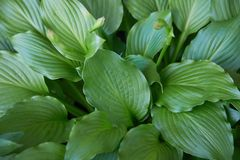 Hosta plant in the garden. Closeup green leaves background. Hosta - an ornamental plant for landscapin stock photo