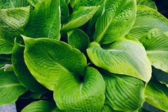 Hosta plant with green leaves close-up.