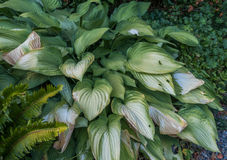 Hosta Plant Leaves Royalty Free Stock Photography