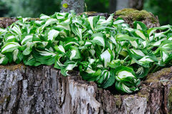 Hosta plant Stock Photography