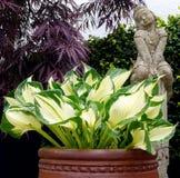Hosta plant Royalty Free Stock Photography